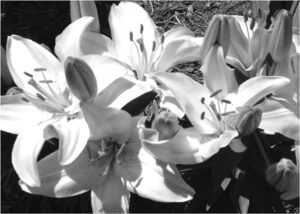 Sunlight on Lilies, Photography by Elizabeth Shumate (December 2014/January 2015)