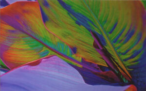 Color Saturate Canna 1, Photograph by Lee Cochrane (October 2014)