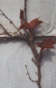Spring Creeper, Photograph by Lee Cochrane (February 2014)