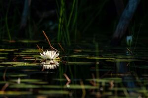 Lily Pad, Full Frame by Nicholas Mullet, 20in x 30in, $400 (September 2020)