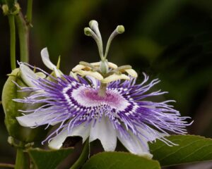 Passion Flower, Photograph by David Boyd, 16om x 20in, $175 (September 2020)