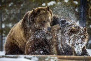 Tusslin' In the Snow, Photograph by David Boyd, 16in x 24in, $195 (September 2020)