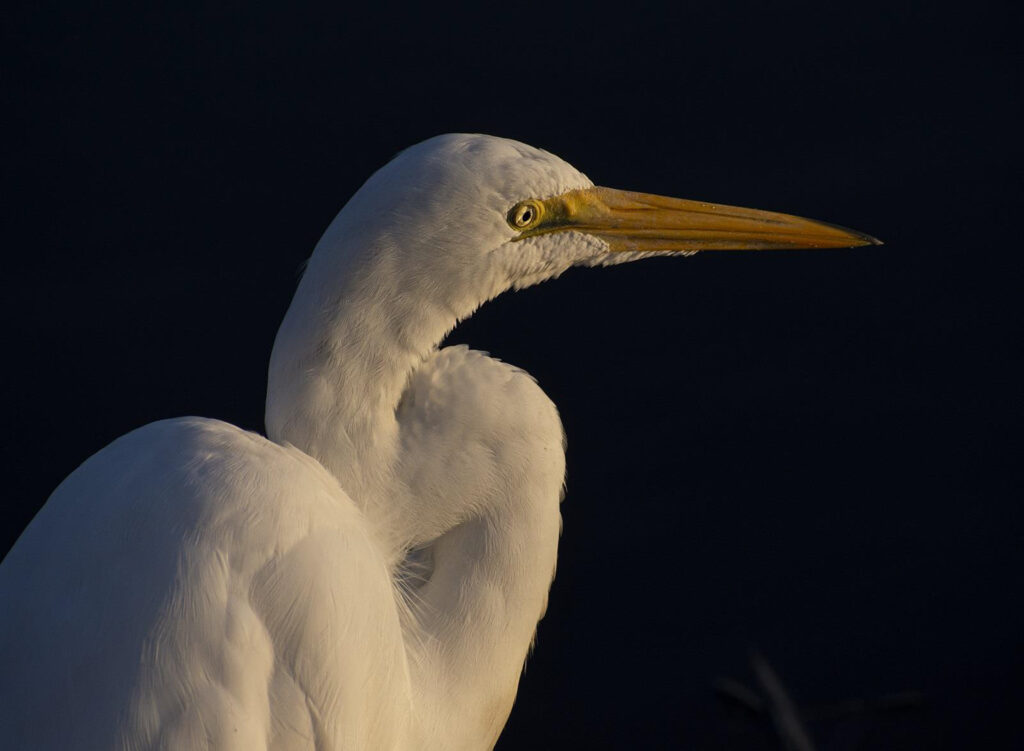 THIRD PLACE: Egret, Photographic Print by Dorothy Stout, 30in x 22in, $350 (Dec. 2020 - Jan. 2021)