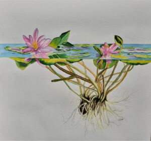 In The Pink, Watercolor by Juliette Swenson, 14in x 15in, $265 (Dec. 2020 - Jan. 2021)