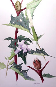 Jimson Weed, Watercolor by Joseph Bailey, 14in x 9in, $600 (Dec. 2020 - Jan. 2021)