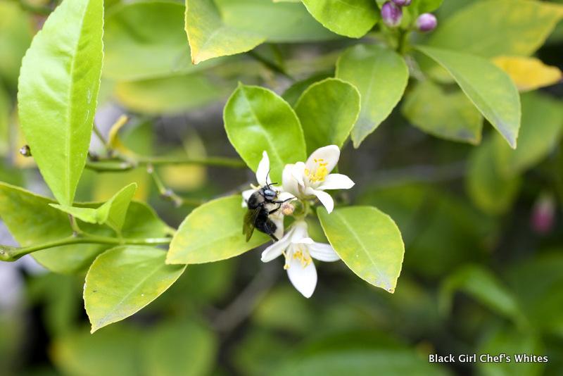 Bee on Meyer Lemon Blossom   Black Girl Chef's Whites