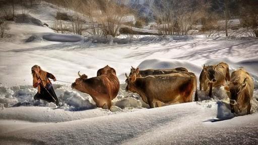 Cow girl.
