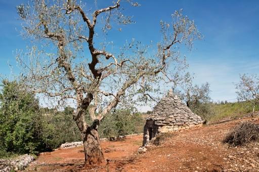 Olivi malati