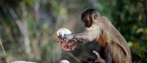Anche le scimmie hanno 'tradizioni'
