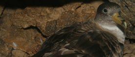 Navigare: per gli uccelli marini è una questione di 'naso'