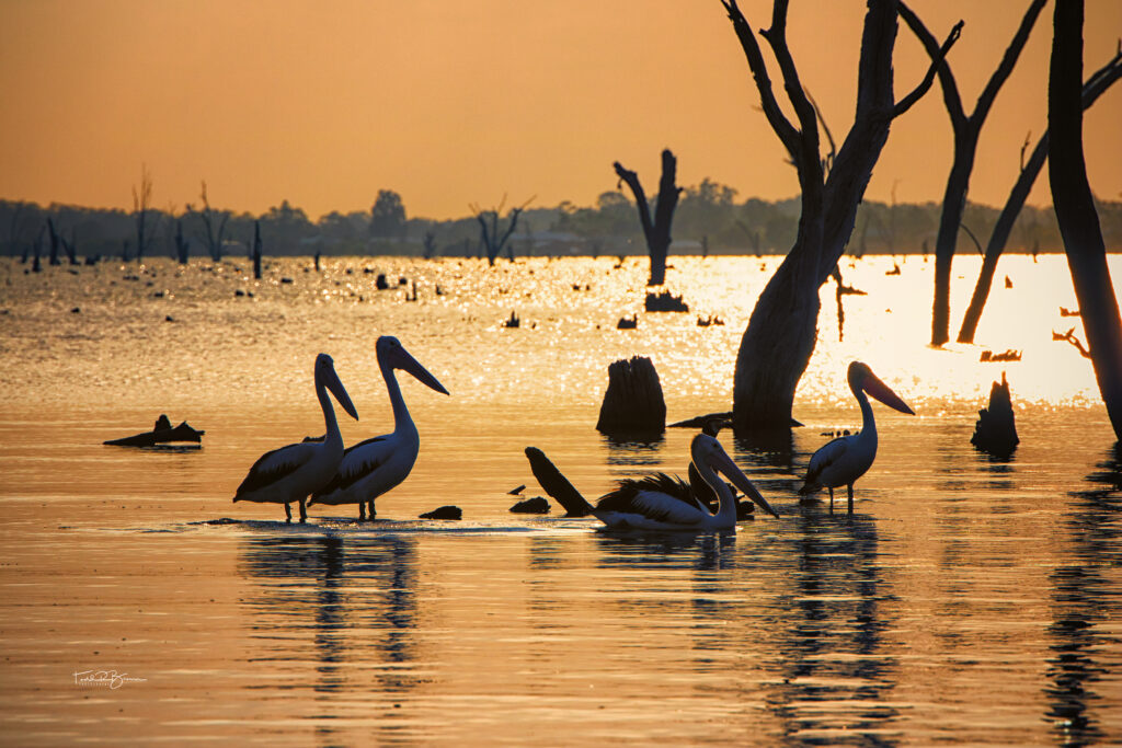 Pelicans on Lake Mulwala web
