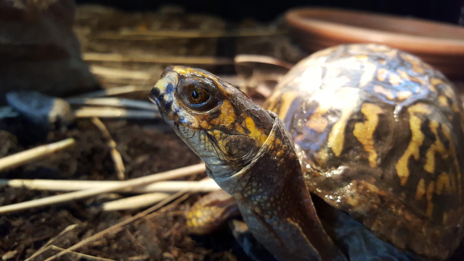 Nature Center box turtle