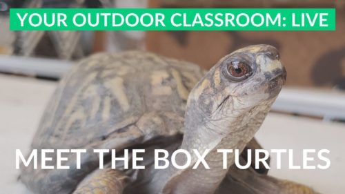 eastern box turtles