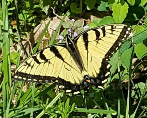 First Butterfly Sighting of 2017: The Appalachian Tiger Swallowtail