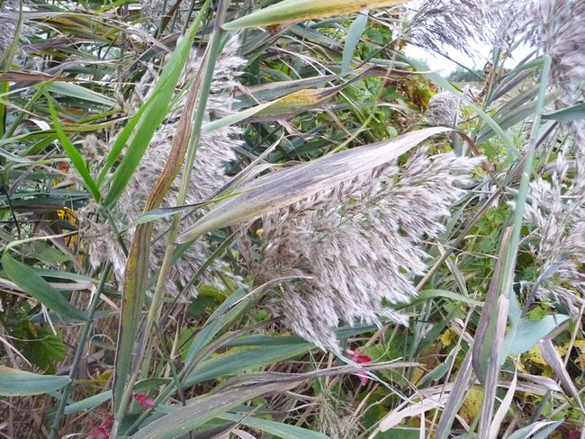 Phragmites growing along a ditch on London Line. The reed grass is attractive but difficult to control and is slowly taking over parts of Lambton County. Gardening expert John DeGroot offers some thoughtful advice on how to either eradicate the grass or at least keep it in check.HANDOUT/ SARNIA OBSERVER/ POSTMEDIA NETWORK