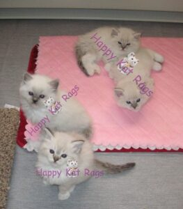HappyKats Past Ragdoll kittens