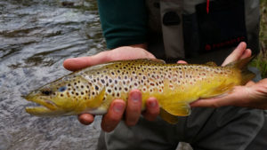 Close up of brown trout with moving water behind.