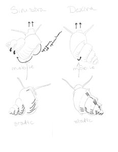 Mobility sketch comparing Sinistra and Dextra after observing the two snails.