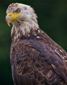 Steve Kessler - Eagle In Alaska 1st Place - B Color