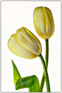 Valerie Interligi - Tulips And Curled Leaf - 3rd Place - A Color