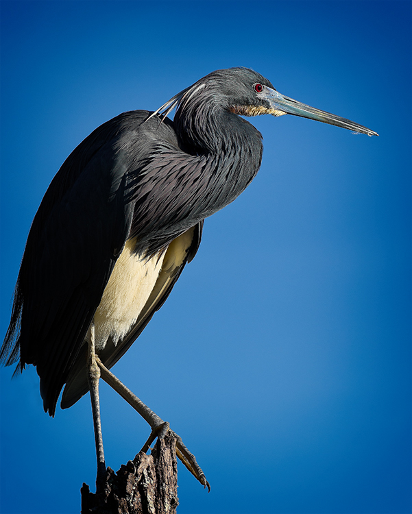 Bill Brown - Blue Heron - B IOM