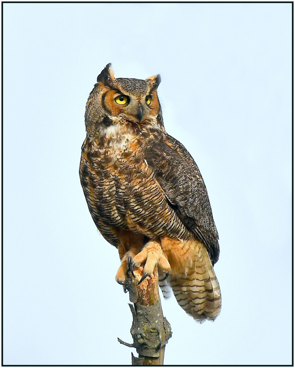 Glenn Urquhart - Great Horned Owl - B IOM