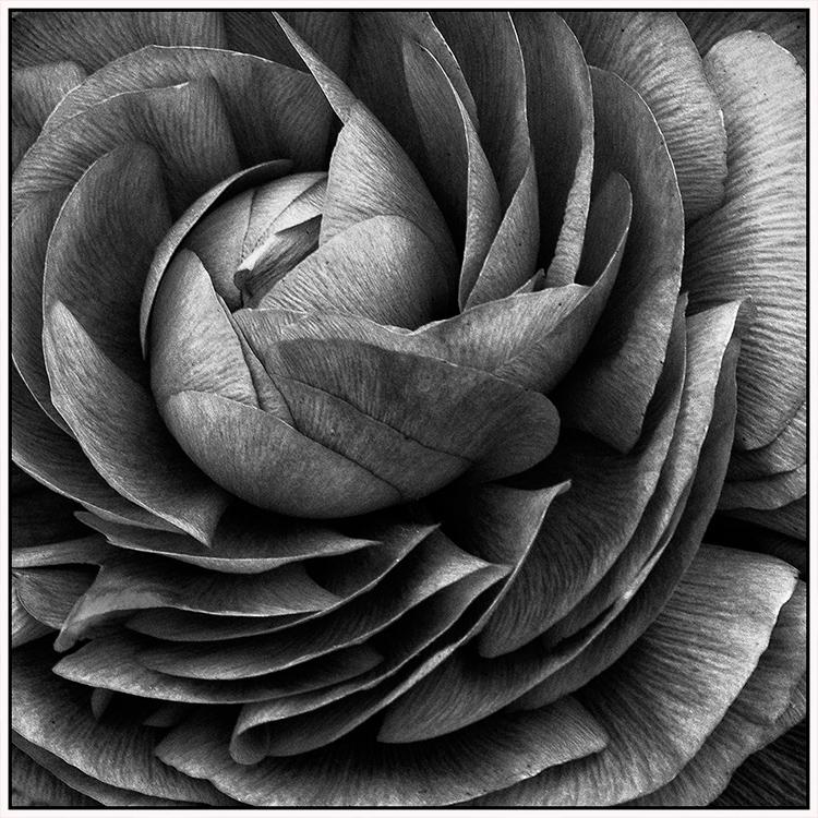 Helen Albano - Perfect Petals - A IOM BW