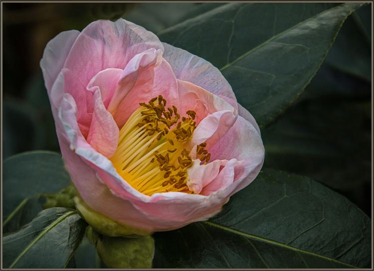 Steve Kessler - Pink Camellia - A IOM