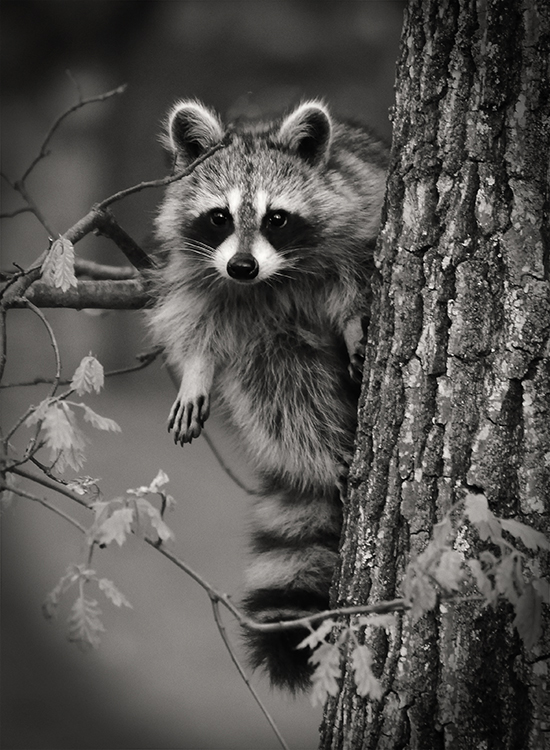 Bill Brown - Raccoon Checking Us Out - 1st Place B&W B Group EOY
