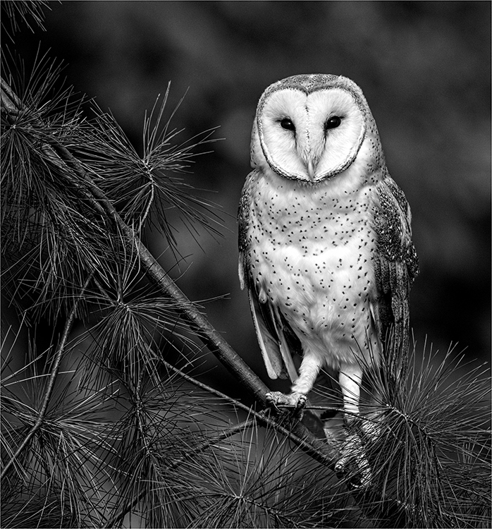 Joe Senzatimore - Barn Owl 18 - 1st Place B&W Salon EOY
