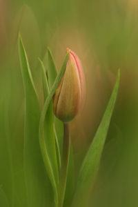 Valerie Interligi - Another Tulip - Salon IOM