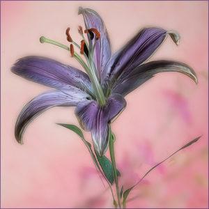 Joe Senzatimore - Lavender Lily 12 - Creative IOM