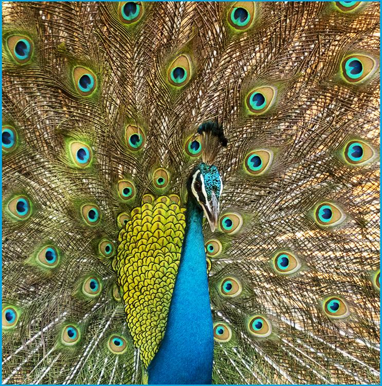 Judi Feinman - Beautiful Plummage - Color-A