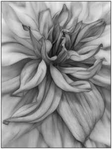 Valerie Interligi-s1-Dahlia In Black And White