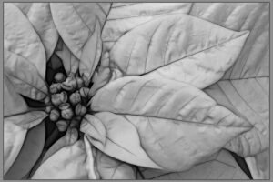 Valerie Interligi-White Pointsettia-B&W Salon IOM