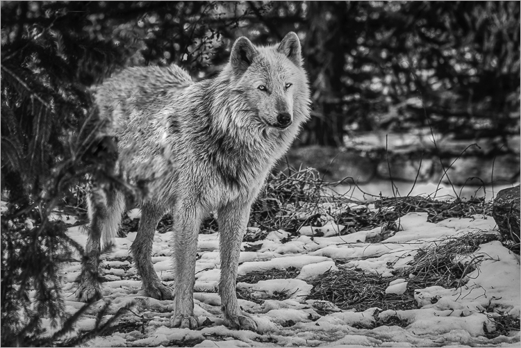1st- Vin Como-Wolf In The Woods- 25 BW-B