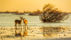 deers near water