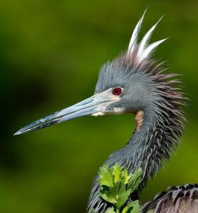 Tri Color Mohawk bird