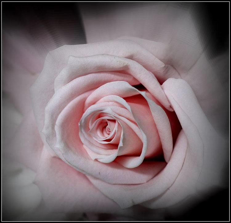 Color B-Jane Allegretti-Sweet Rose-9 (IOM)