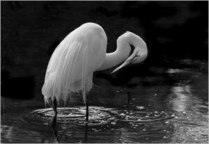 Kathy Sheldon- Elegant Great Egret- B&W A- 9.5 (IOM)