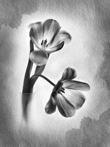Valerie Interligi-B&W S-Tulips On Watercolor-10 (IOM)