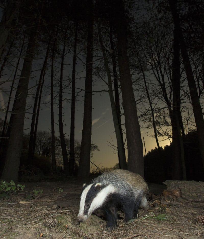 nocturnal animals - badger
