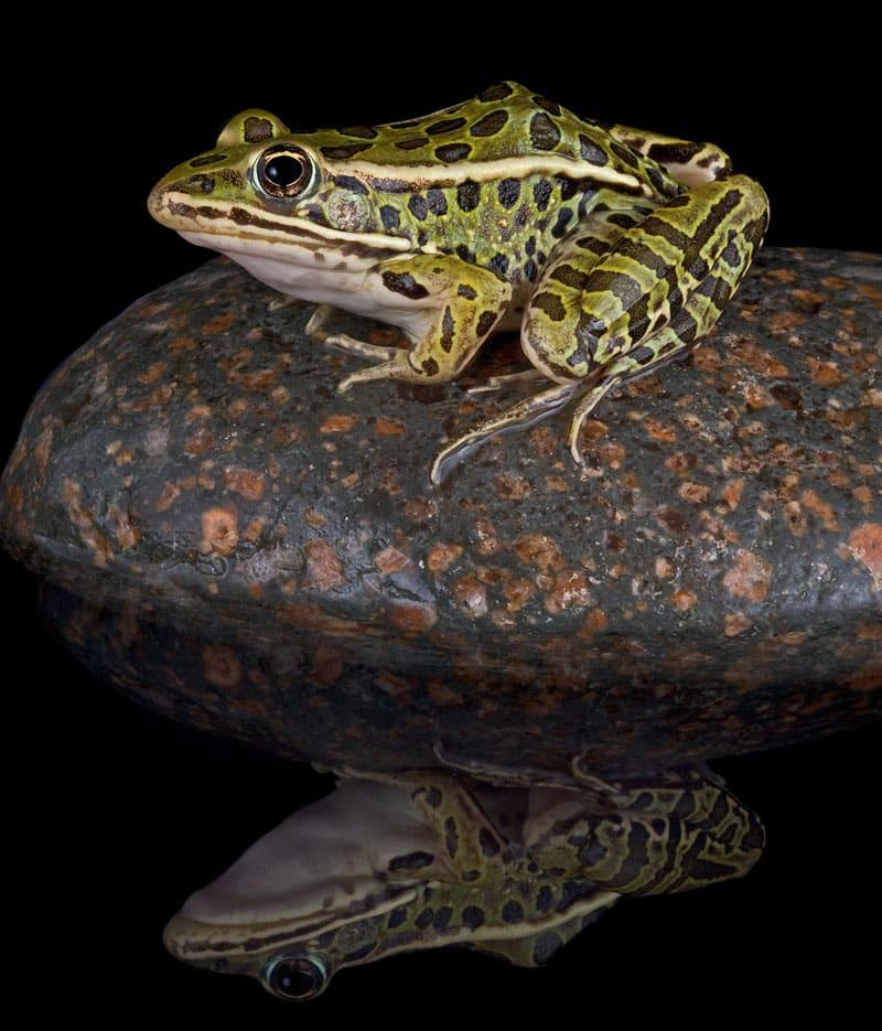 wetland amphibians