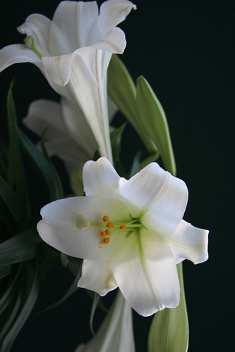 Easter Lilly via Flickr
