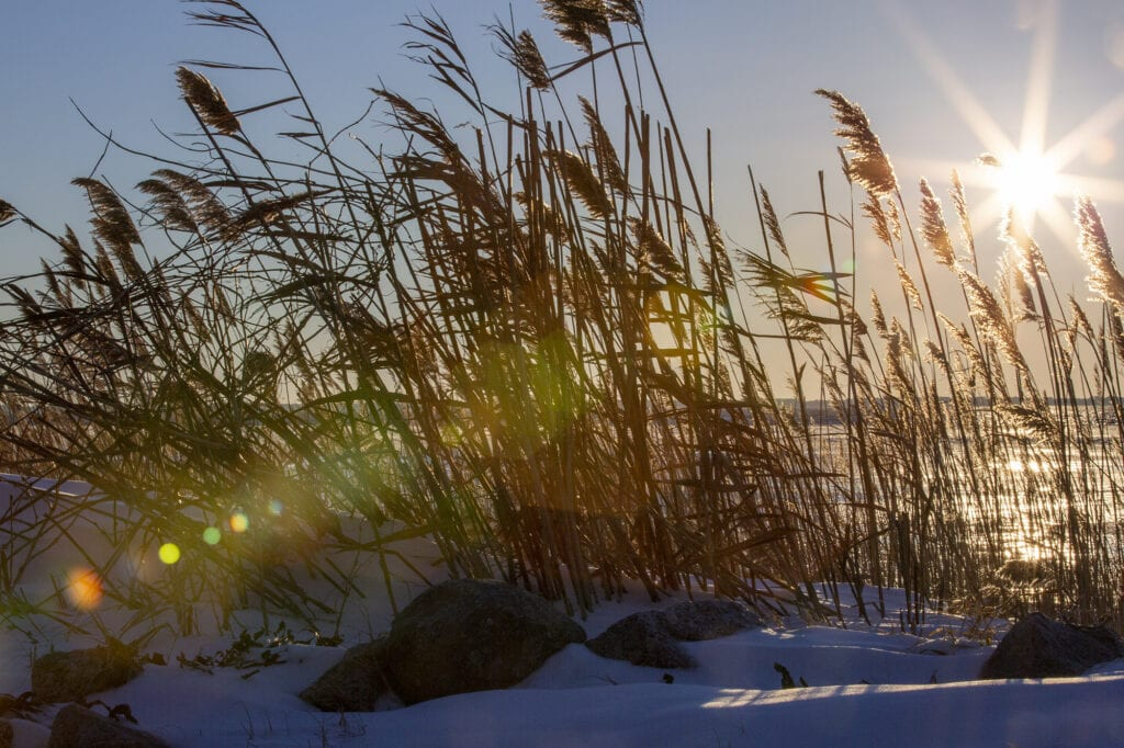 Frozen Albemarle sound with sea oats