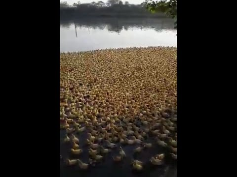 5,000 Tiny Ducklings Meet Water For the First Time