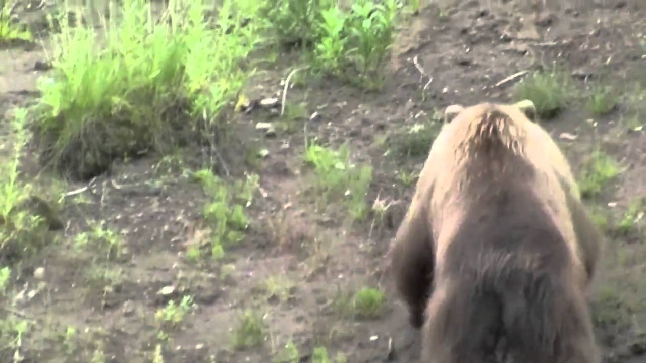 Insane Video: Bald Eagle Attacks Grizzly Bear
