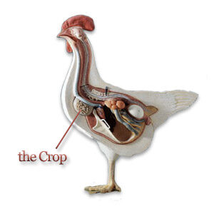 albuquerque chicken vet