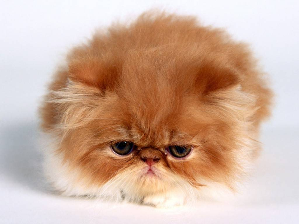 flat faced cat health