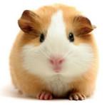 Guinea Pig Vetco